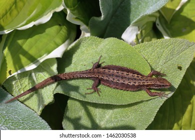 The little viviparous lizard (Zootoca vivipara) basks in the summer sun among the green foliage [Moscow region, Russia - JULY] (macro)