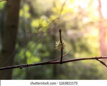 A little wad of oak moss (Evernia prunastri) growing on a branch
