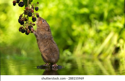 A little water vole eating some blackberries