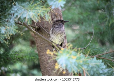 Little Wattlebird Fledgling in pine tree