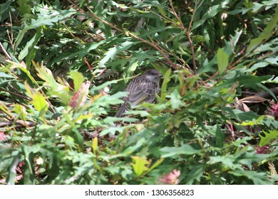 Little Wattlebird Fledgling in toothbrush grevillea