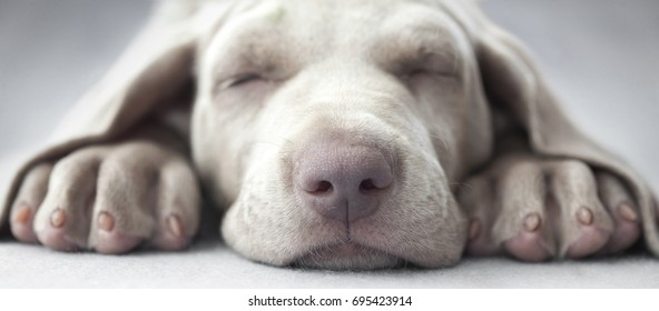 Little weimar puppy dog sleep in front of the camera