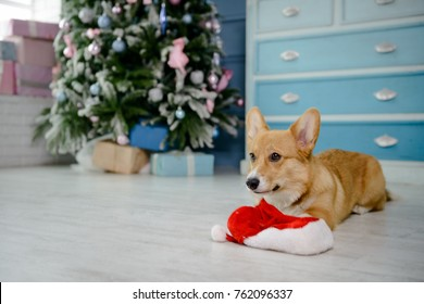 Little welsh corgi pembroke puppy playing with Santa's hat next to a Christmas tree