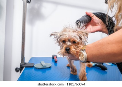 Little wet cute and beautiful purebred Yorkshire Terrier dog enjoying in grooming and cleaning after bathing in the pet spa