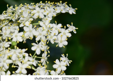 Little white blossoms of elderflower (sambucus nigra) - macro