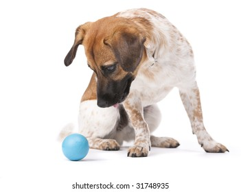Little white and brown dog focusing sharply on a blue ball. Studio shot. Isolated on white