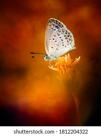 Little white butterfly or Bog Copper Butterfly in flaming red background