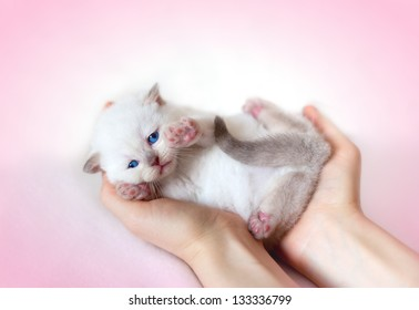 Little white cat lying on the back in the female hands