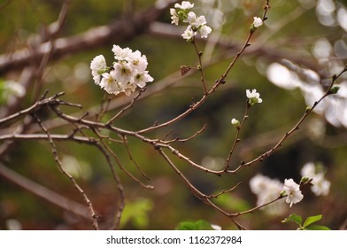 It's a little white cherry blossom in early spring. Focus on flowers with bouquet background.