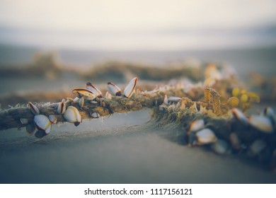 Little white clams on rope brought in by the tide