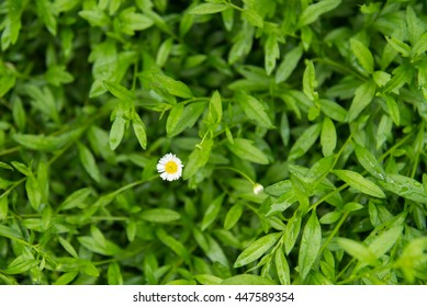 Little white Daisy background