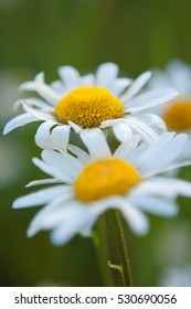 Little white daisy flower with green bokeh baclground