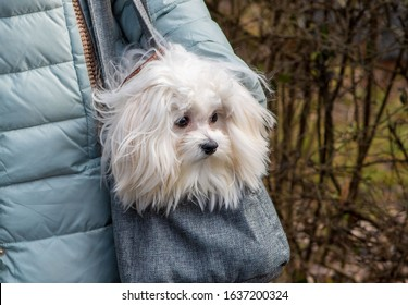 Little white dog in a bag on a walk in the park.