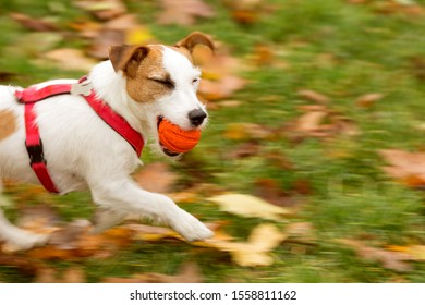 Little white dog with brown spots running on the grass with an orange ball in his teeth and blinking one eye.