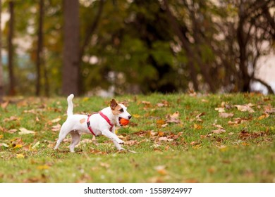 Little white dog with brown spots running on the grass with an orange ball in his teeth.
