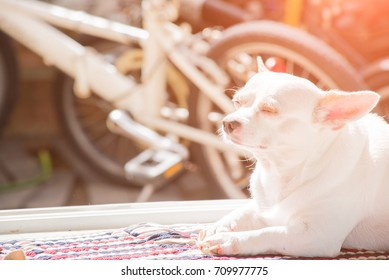 The little white dog with a dumb gesture