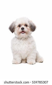 little white dog in front of a white background