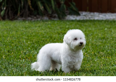 Little White Dog in the Grass