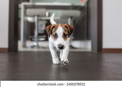 Little white dog. Puppy on brown floor