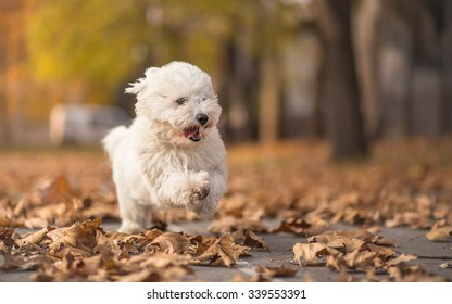 Little white dog run in park - autumn portrait