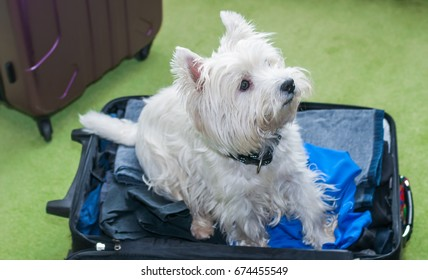 Little white dog sits on packed suitcase
