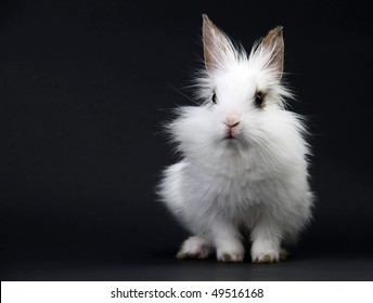 Little White Domestic Rabbit on Black Background