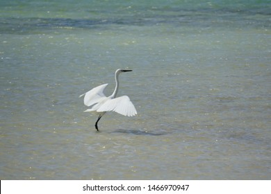 Little white egret is going to take off on a salt lake in the reserve on the island of Bonaire