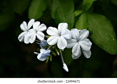 Little white flower images stock photos vectors shutterstock little white flower of cape leadwort plumbago auriculata on a dark background with green mightylinksfo