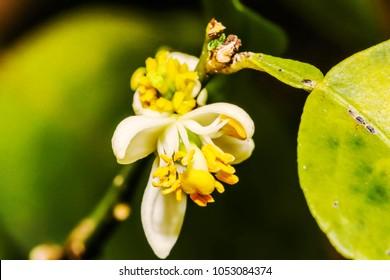 Little of white Flower lemon ,Lime blossom on tree