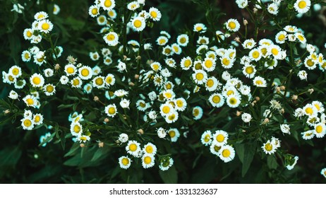 Little white flowers background.