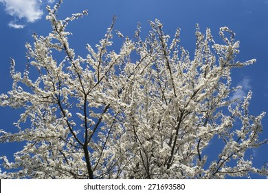 Little white fuzzy flowers, Spring bloom of a tree, Spring nature background