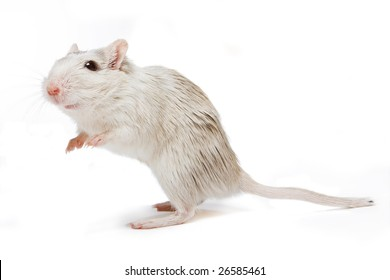 Little white gerbil rat looking curious on a white background