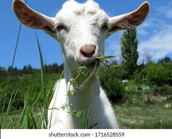 Little white goat eating grass in a summer green meadow. Domestic animal on a pasture, rural landscape