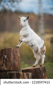 Little white goat playing in the yard