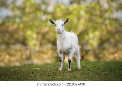 Little white goat in summer