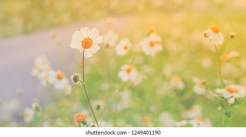 little white grass flower blooming  at sunrise spring nature wallpaper  relax nature background