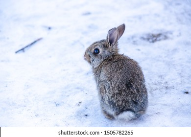 Little white and gray rabbit on the North farm. Rabbit sitting on the snow.