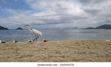 Little white heron, with black beak and scientific name Egretta thula, lives with seagulls Larus dominicanus and yellow beak Ardea alba, on the beach of Itaipu, Niteroi city, in Rio de Janeiro, Brazil
