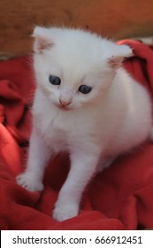 Little white kitten with blue eyes