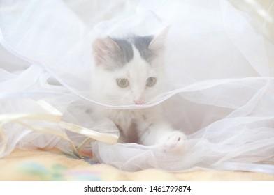 little white kitten in the transparent cloth, cat bride , pussycat hidden in the veil