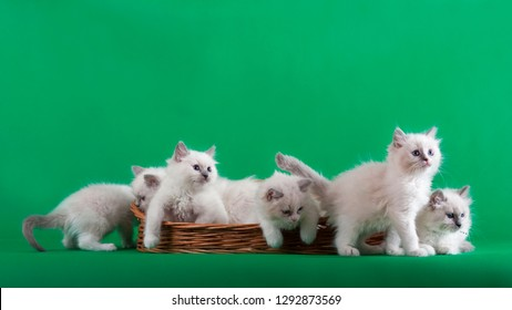 Little white kittens in a wicker basket. Ragdoll.