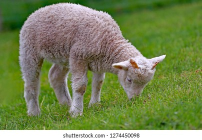 Little white lamb grazing grass on the meadow.