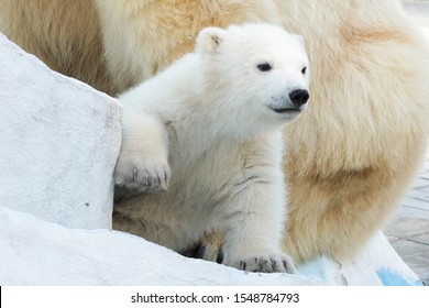 Little white polar bear cub on a walk. The kid hides at his mother's feet and looks around with curiosity