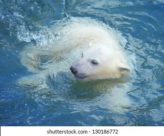 Little white polar bear swimming in the water