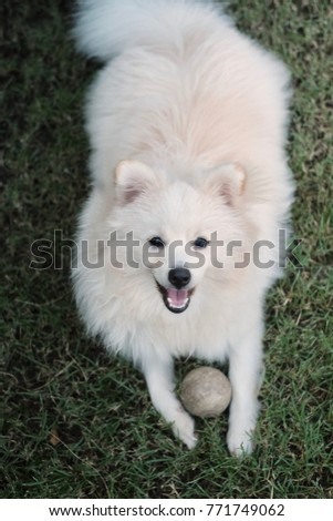 Little White Pomeranian Puppy Smiling Happily Stock Photo Edit Now