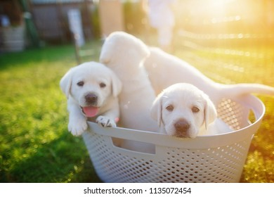 little white puppies with pink tongues sitting in a basket at sunset