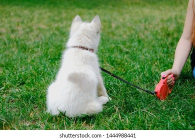 Little white puppy Husky 2 months old is sitting on the grass in park. Summer dog walking