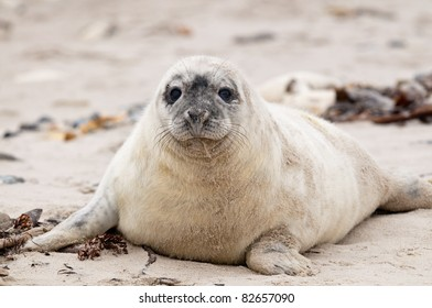 Little white seal