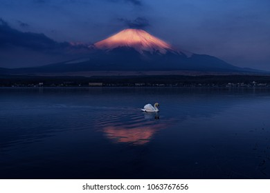 A little white swan and morning view of Mount Fuji with reflection at Lake Yamanaka, Yamanashi, Japan.