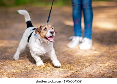 Little white-brow dog walking on a leash in a summer park